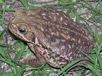 Tampa Toad Poisoning in Pets, Tampa Veterinarian, Tampa Animal Hospital, Veterinary Clinic in Tampa, Walk-In Vet in Tampa, Florida